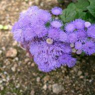 Агератум: посадка и уход фото когда сеять семена