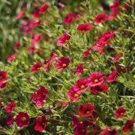 Бакопа ампельная: фото, выращивание и уход