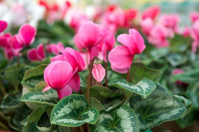 Цикламен цветок фото уход в домашних условиях
