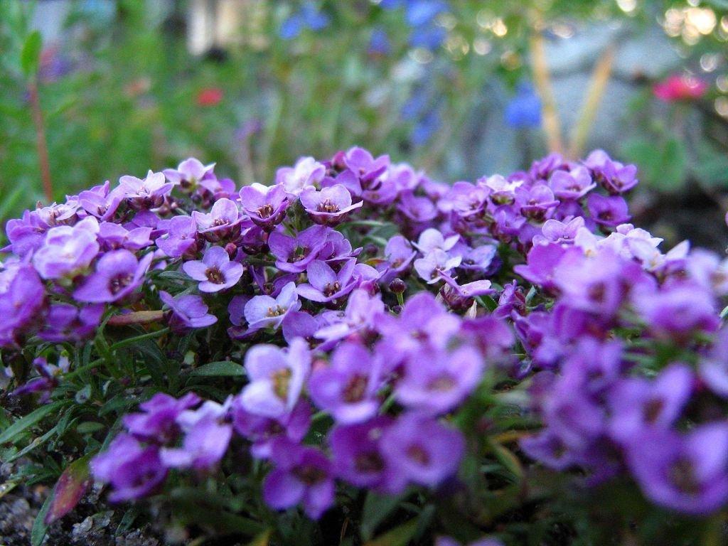 Цветок алиссум посадка и уход