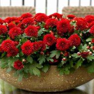 Хризантемы в горшках: как ухаживать в домашних условиях?