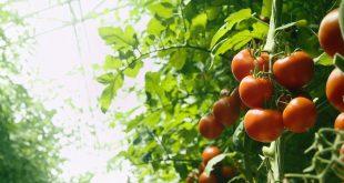 Как прищипывать помидоры в теплице пошаговое фото