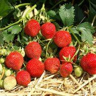 Клубника: выращивание и уход в открытом грунте