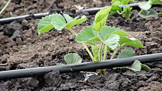 Клубника выращивание и уход в открытом грунте