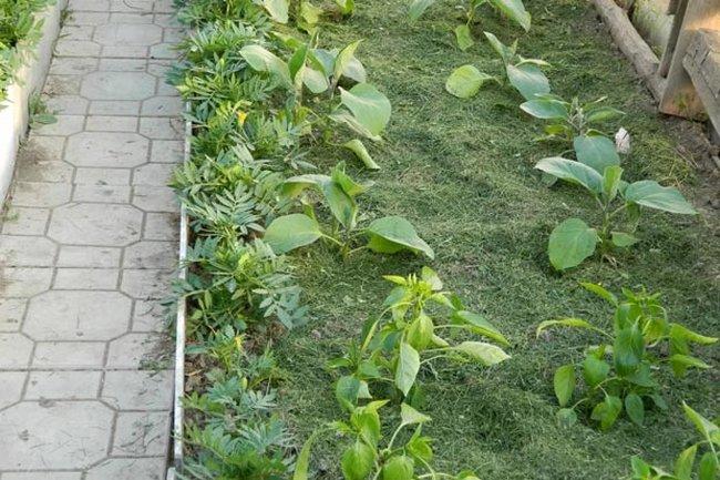 Мульчирование почвы скошенной травой