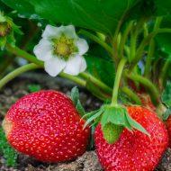 Нашатырный спирт в огороде: применение для клубники