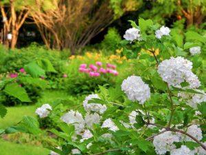 Условия для выращивания калины 95