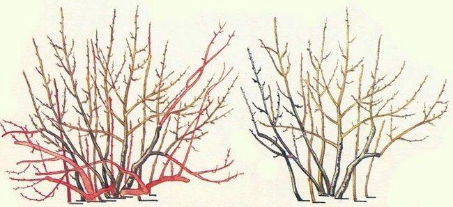 Обрезка смородины весной для начинающих в картинках пошагово