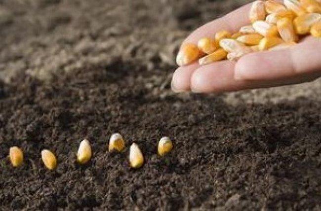 Посадка кукурузы на дачном участке