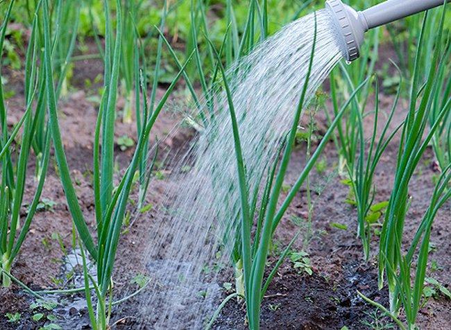 Соль поливать лук