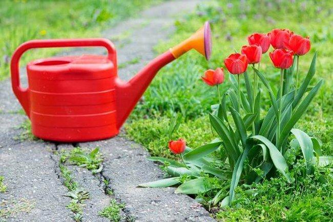 Тюльпаны уход весной подкормка