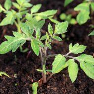 Болезни рассады томатов: описание с фотографиями и способы лечения