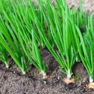 Болезни лука зеленого и их лечение