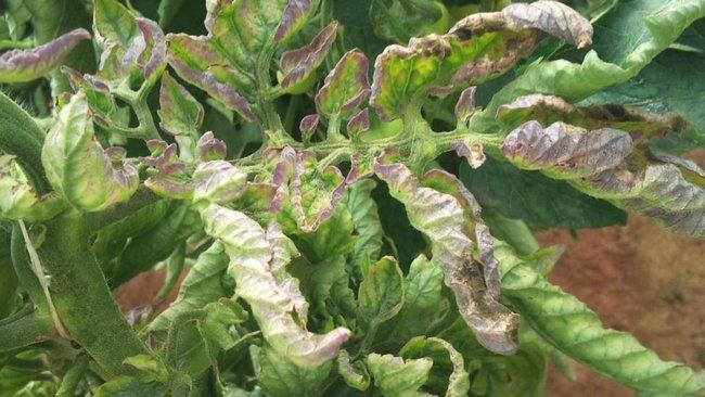 Болезни помидоров фото и их лечение от чего закручиваются листья