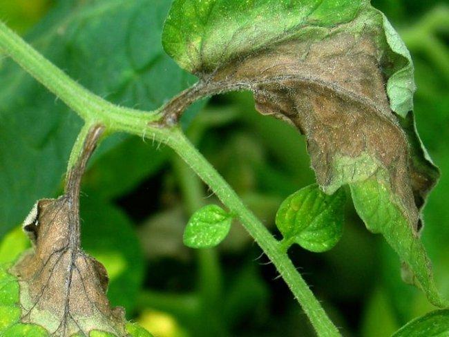 Болезни рассады томатов описание с фотографиями и способы лечения