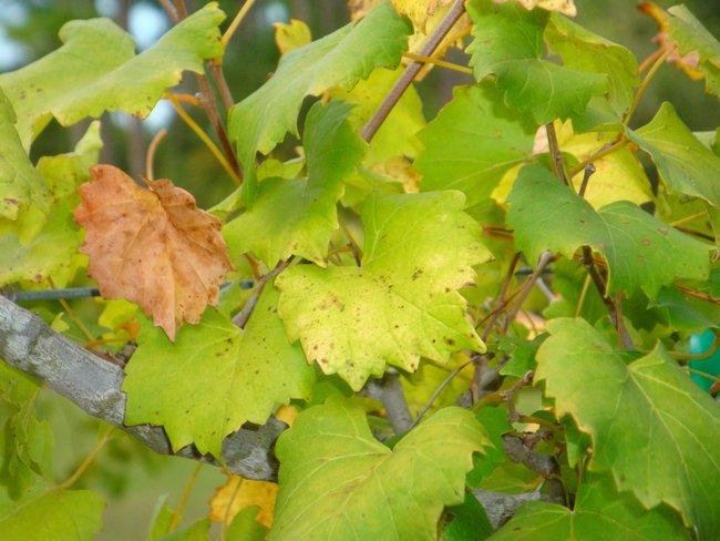 Болезни винограда и борьба с ними фото