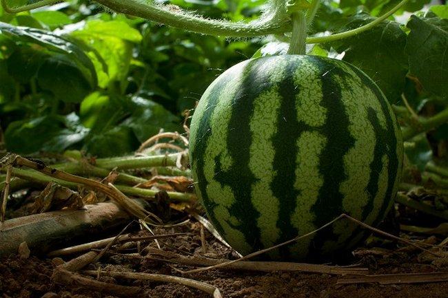 Чем подкормить арбузы и дыни чтобы росли быстрее