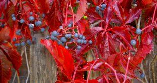 Чем подкормить девичий виноград для быстрого роста