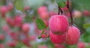 Чем подкормить яблоню после цветения когда завязываются плоды