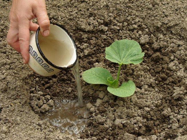 Чем подкормить кабачки в открытом грунте Чем подкормить кабачки в открытом грунте