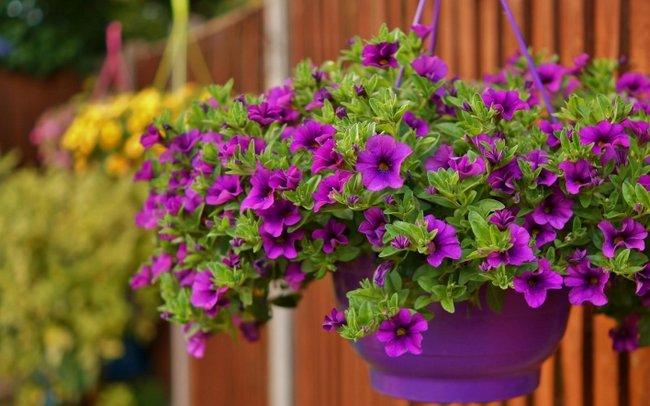 Чем подкормить петунию для роста и цветения