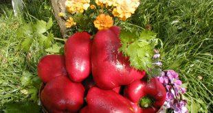 Чем поливать перец для хорошего урожая