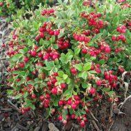 Клюква садовая: посадка и уход, фото, отзывы