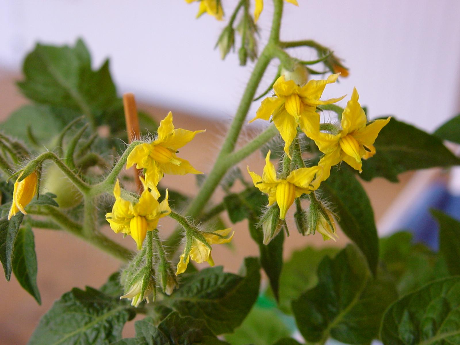 Почему на помидорах пустоцветы что делать