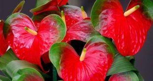 Антуриум болезни листьев фото как лечить