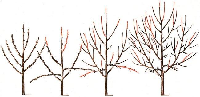 Обрезка деревьев осенью для начинающих в картинках пошагово