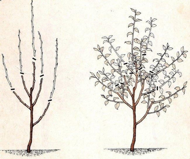 Обрезка груши осенью для начинающих в картинках пошагово