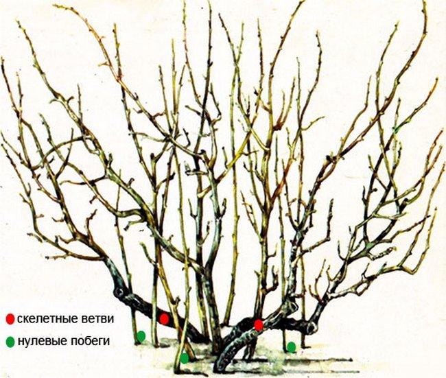 Обрезка смородины осенью для начинающих в картинках пошагово