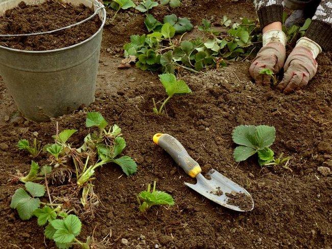 Что посадить после клубники осенью