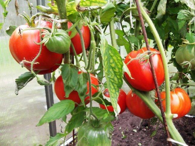 Что посадить после томатов на следующий год