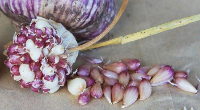 Как подготовить грядку под озимый чеснок осенью