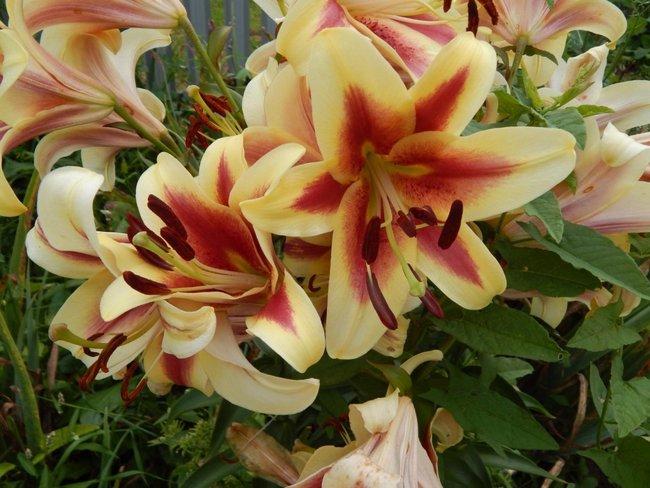 Когда выкапывать лилии для пересадки осенью