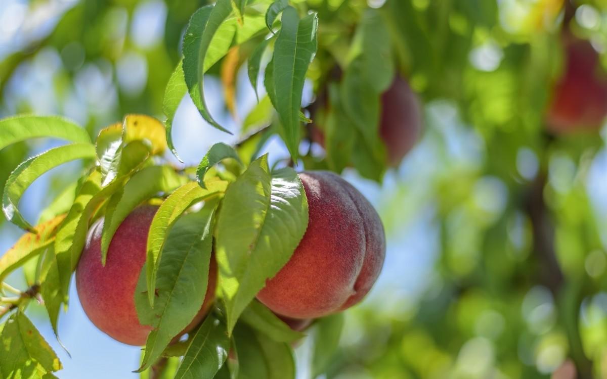 Обрезка персика когда и как правильно ее делать