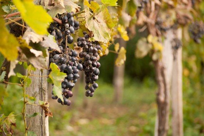 Осенняя подкормка винограда