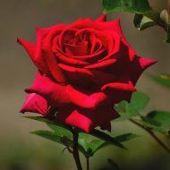 Розы: подготовка к зиме обрезка
