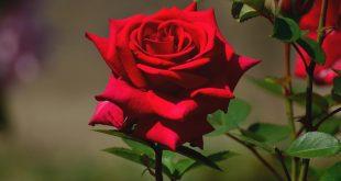 Розы подготовка к зиме обрезка