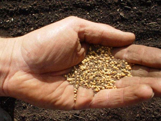 Сидераты горчица когда сеять и когда закапывать