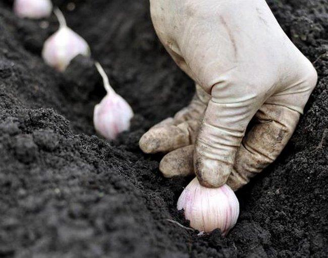 Какое удобрение вносить осенью под чеснок
