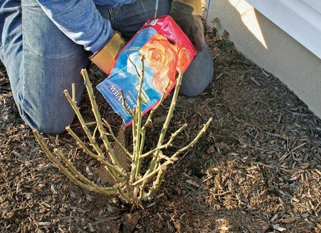 Когда укрывать розы на зиму в Подмосковье