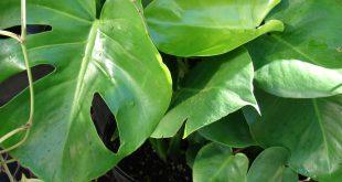 Комнатные цветы с большими листьями фото и название