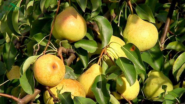 Осенняя подкормка яблонь и груш