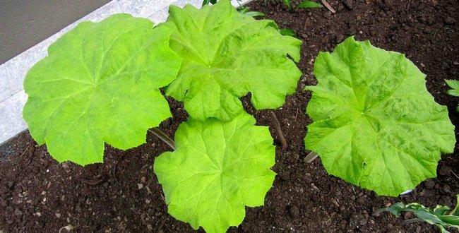 Астильбоидес травянистые растения для открытого грунта