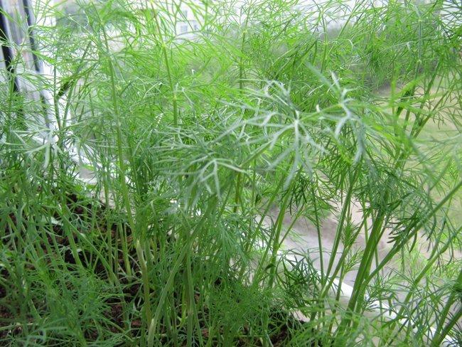 Что можно посадить на подоконнике зимой из зелени