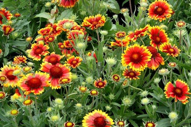 Гайлардия красивая травянистые растения для открытого грунта