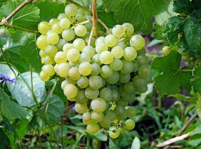 Морозоустойчивые сорта винограда для Центральной России без укрытия