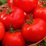 Сорта помидоров устойчивых к фитофторозу для открытого грунта